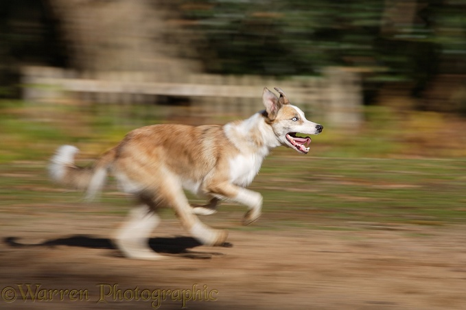 Sable-and-white Border Collie, Zebedee, running