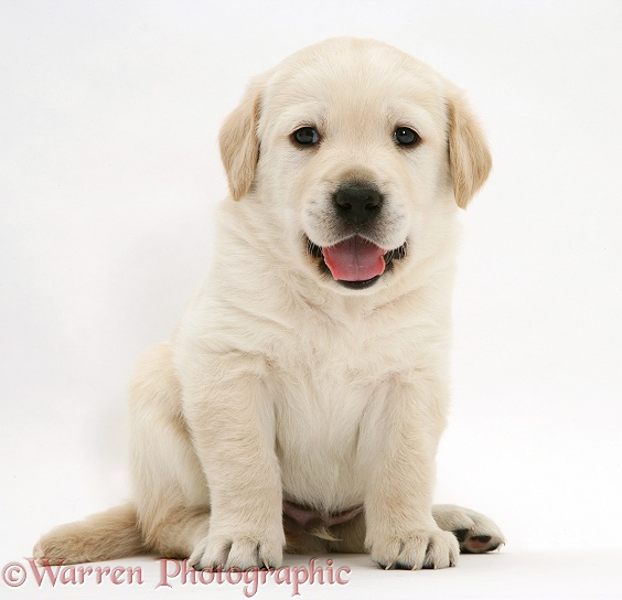 Cute Yellow Goldador Retriever pup, sitting, white background