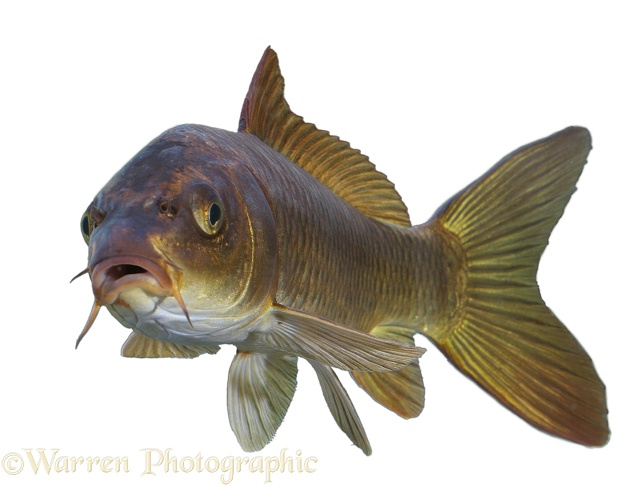Carp (Cyprinus carpio), white background