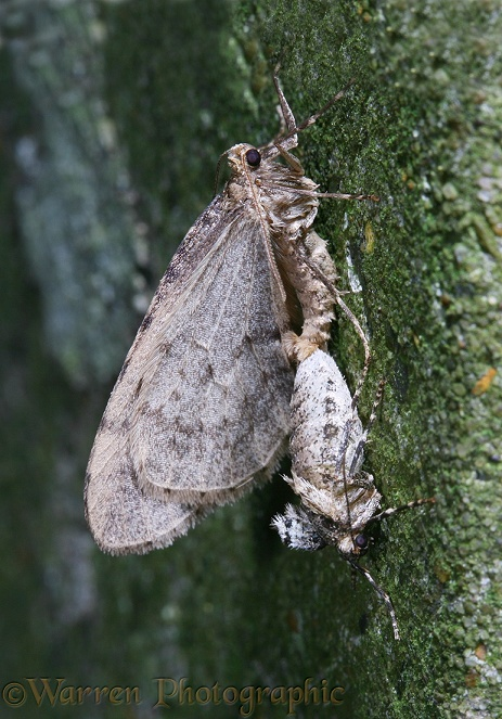 Winter Moth (Operophtera brumata) mating pair.  Europe