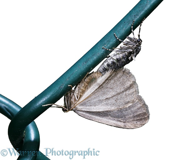 Winter Moth (Operophtera brumata) mating pair on wire fence.  Europe, white background