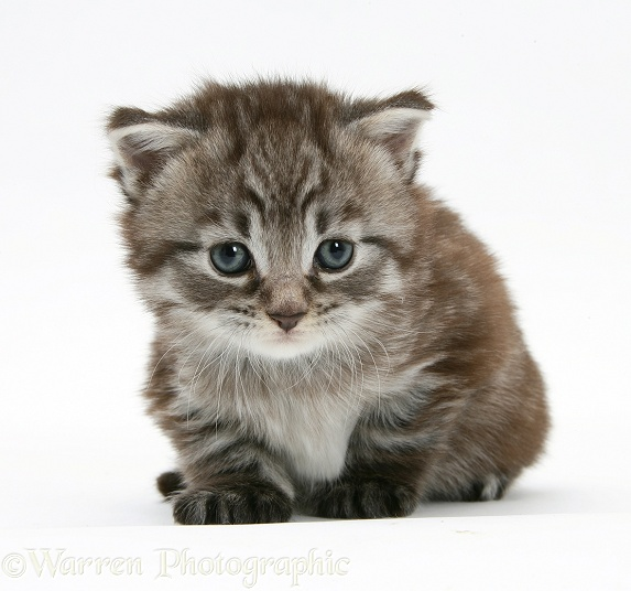 Maine Coon Kitten, white background
