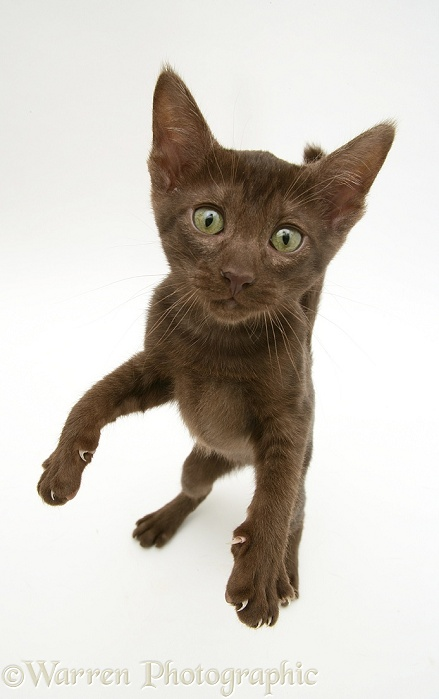 Brown Oriental-type kitten reaching up, white background