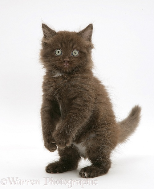 Chocolate kitten, Cocoa, standing on hind legs, white background
