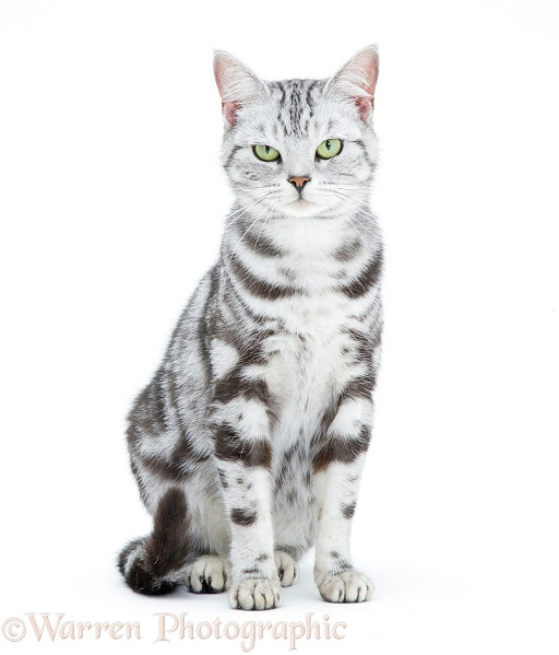 Gray Tabby Cat With White Paws