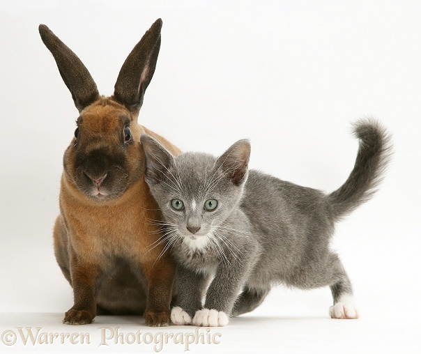 Blue-and-white Burmese-cross kitten, Levi, with sooty-fawn dwarf Rex rabbit, white background