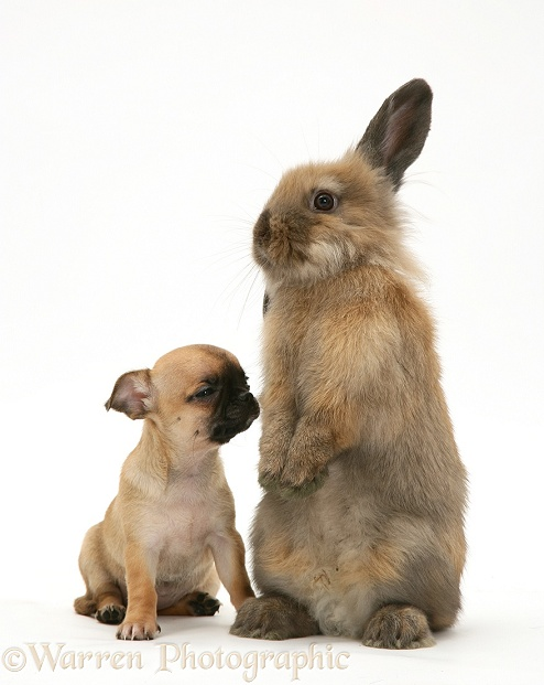 Chihuahua pup and Lionhead rabbit, white background