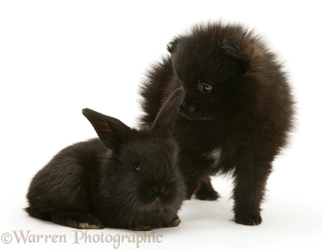 Black Pomeranian pup and black baby rabbit, white background
