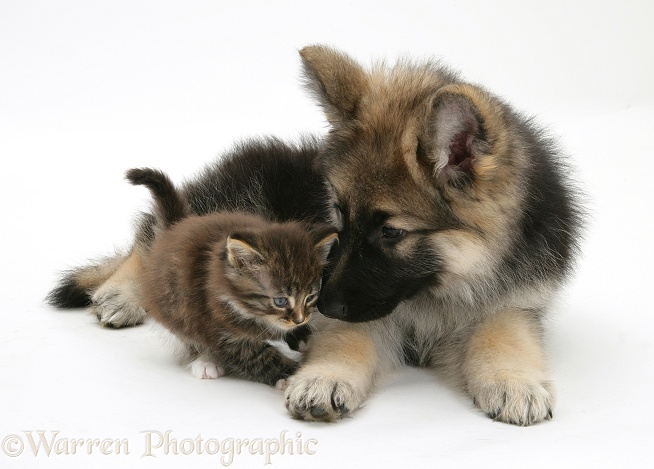 German Shepherd Dog bitch pup, Echo, with a tabby kitten, white background