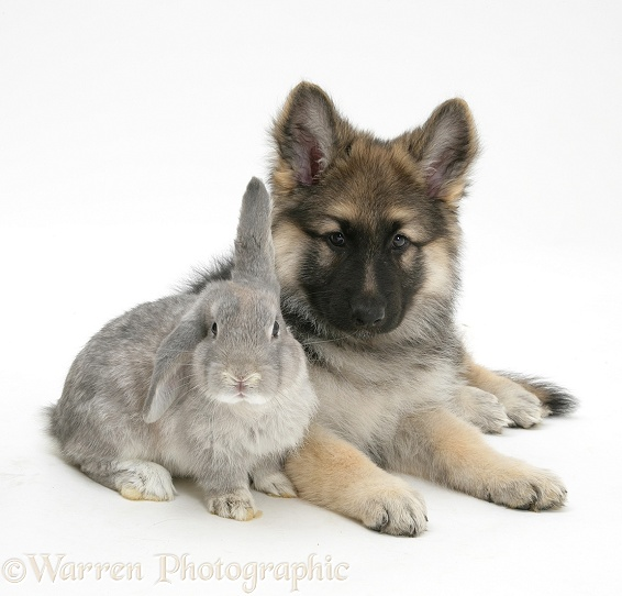 German Shepherd Dog bitch pup, Echo, with grey windmill-eared rabbit, white background