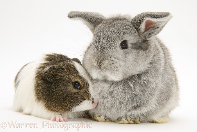 Pets: Baby silver Lop rabbit with agouti-and-white Guinea ...