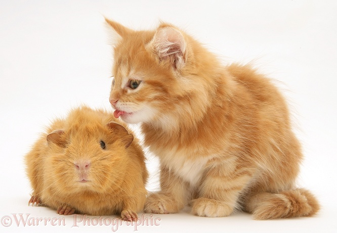Ginger Maine Coon kitten licking a ginger Guinea pig, white background