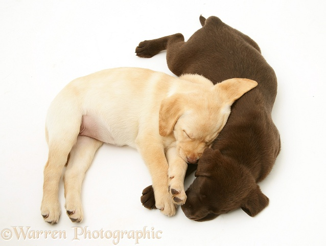 Yellow and Chocolate Labrador Retriever pups asleep, white background