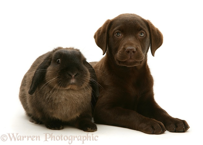 Chocolate Labrador Retriever pup with chocolate Lop rabbit, white background