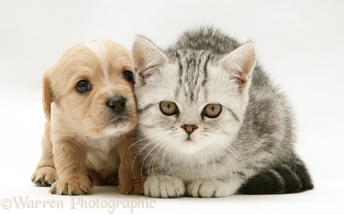 Westie x Cavalier pup and silver tabby kitten, white background