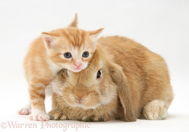 Ginger kitten rubbing against a young Sandy Lop rabbit, white background