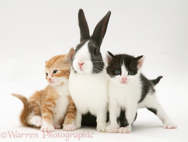 Kittens with blue Dutch buck rabbit, white background