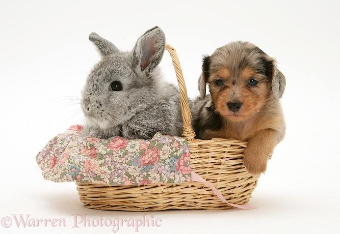 Silver dapple miniature Dachshund pup in a basket with a baby silver Lop rabbit, white background