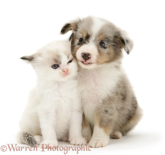 Birman-cross kitten with blue merle Shetland Sheepdog pup, white background