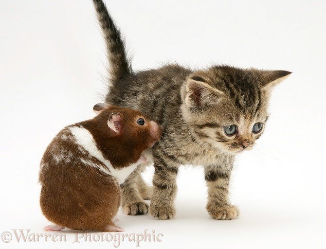Brown spotted British Shorthair tabby kitten and hamster, Tibbles, white background