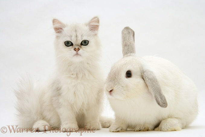 Chinchilla kitten with young silver colourpoint rabbit, white background