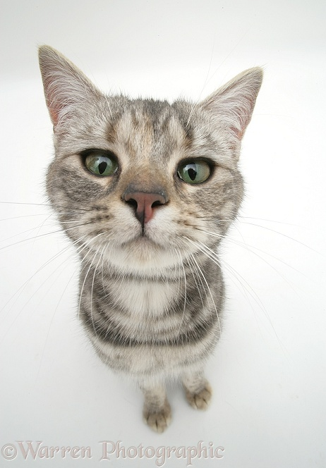 Tabby cat, Cynthia, looking up, white background