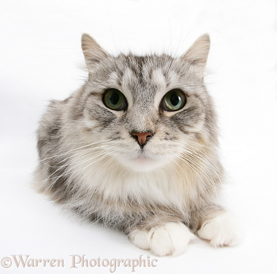 Silver tabby Maine Coon cat Bambi, white background