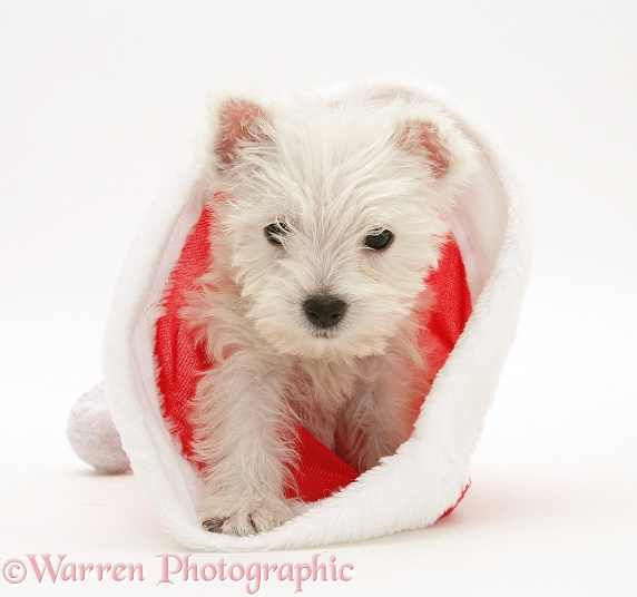 West Highland White Terrier pup in a Father Christmas hat, white background