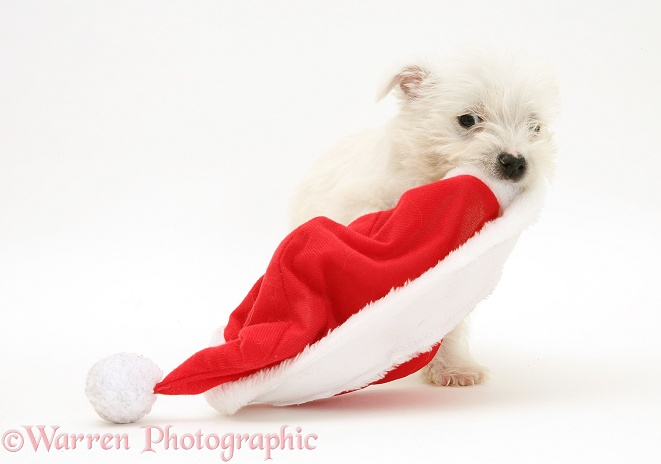 West Highland White Terrier pup playing with a Father Christmas hat, white background