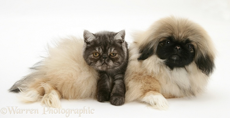 Smoke Exotic kitten and Pekingese pup, white background