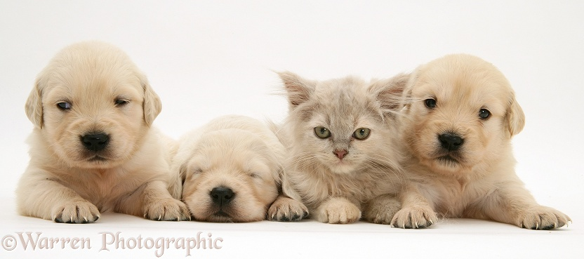 Three Golden Retriever pups with a lilac tortoiseshell kitten, white background