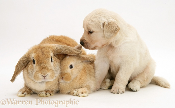 Mother and baby sandy Lop rabbits with Golden Retriever pup, white background