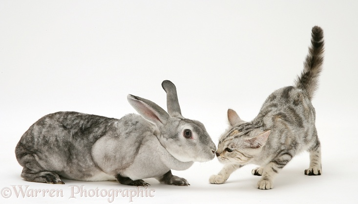 Silver tabby cat, Joan, greeting silver rabbit, white background
