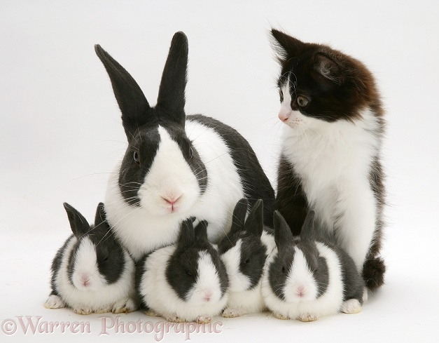 Black Dutch rabbit with with its babies and black-and-white kitten, Felix, white background