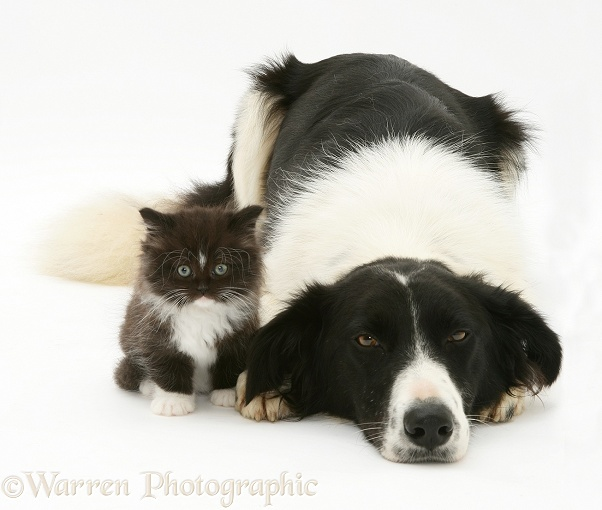 Black-and-white Border Collie lying chin on floor with black-and-white kitten, white background