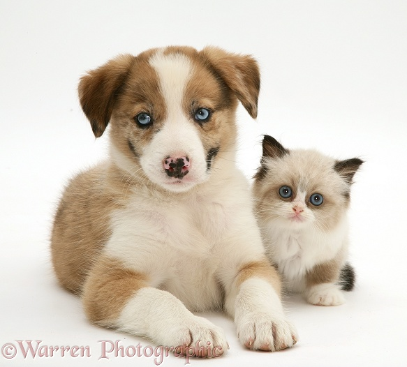 Blue-eyed red merle Border Collie puppy, Zebedee, with Birman-cross kitten, white background