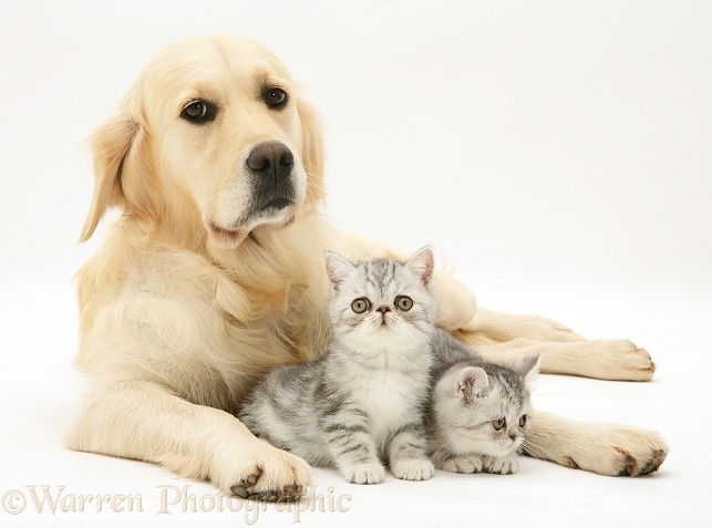 Silver tabby Exotic kittens and Golden Retriever, Lola, white background