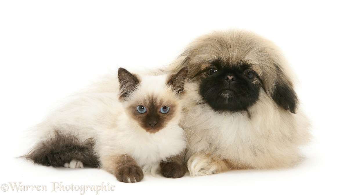 Birman-cross kitten with Pekingese pup, Mop, white background