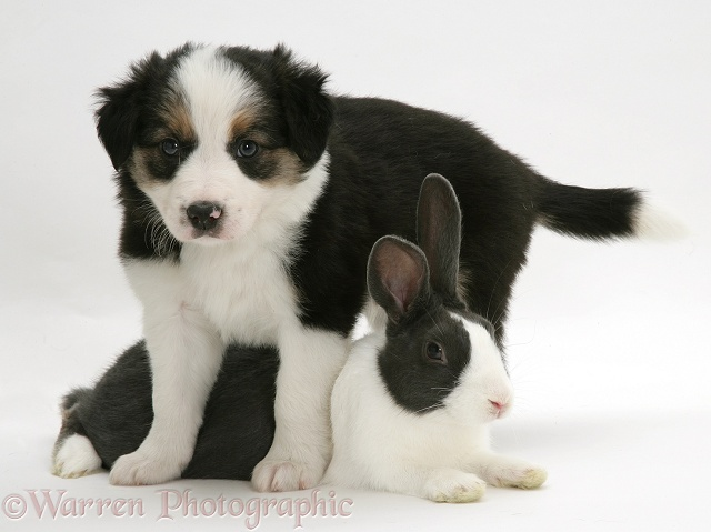 Border Collie pup and Dutch rabbit photo - WP17904
