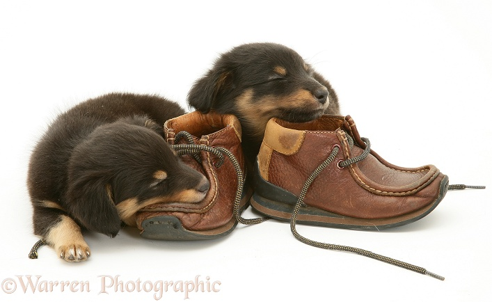 Sleepy Sheltie x Dachshund pups with child's shoes, white background