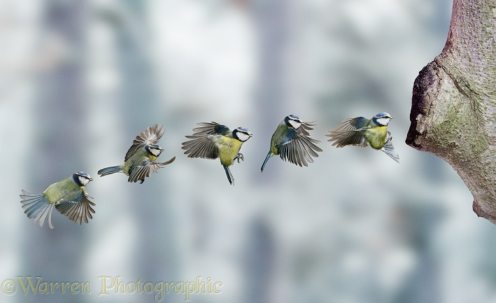 Blue Tit (Parus caeruleus) flight sequence.  Europe