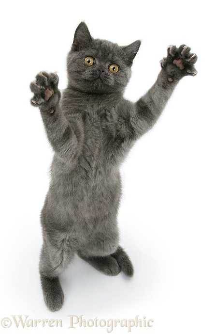 Grey kitten reaching up, white background