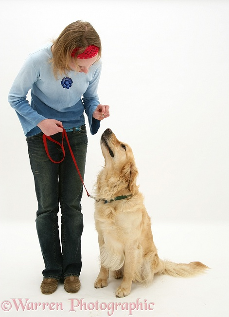 Golden Retriever, Barney, being given a treat by Lille, white background