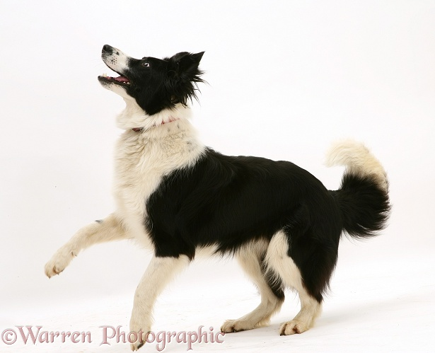 Black-and-white Border Collie, Phoebe, white background