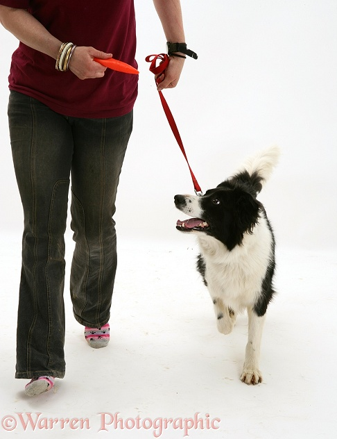 Training black-and-white Border Collie, Phoebe, white background