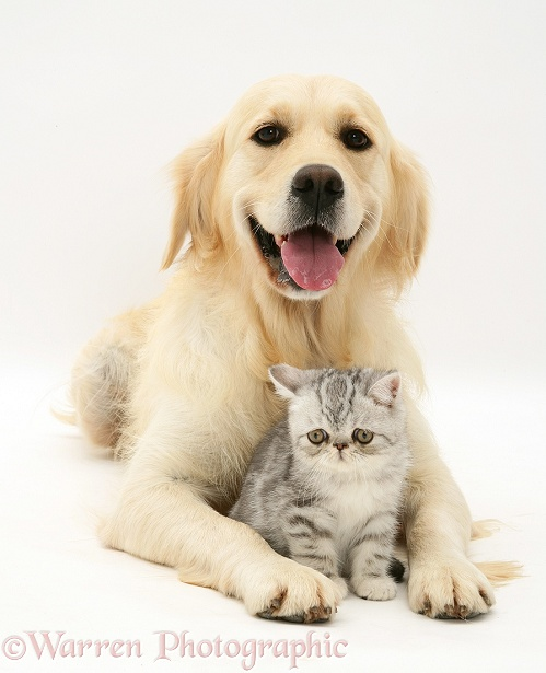 Golden Retriever bitch, Lola, with silver Exotic kitten, white background