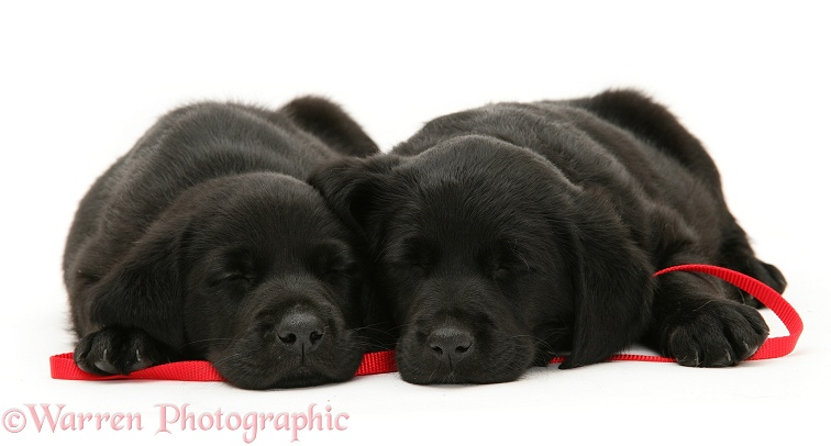 Sleepy black Goldador Retriever pups lying on a red lead, white background