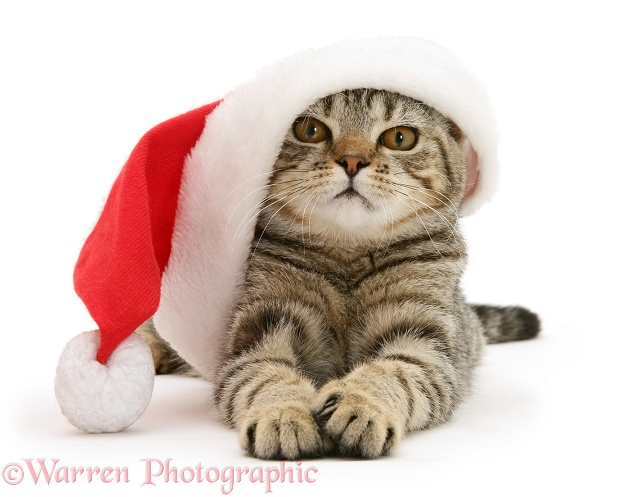 Tabby cat Tiger Lily wearing a Father Christmas hat, white background