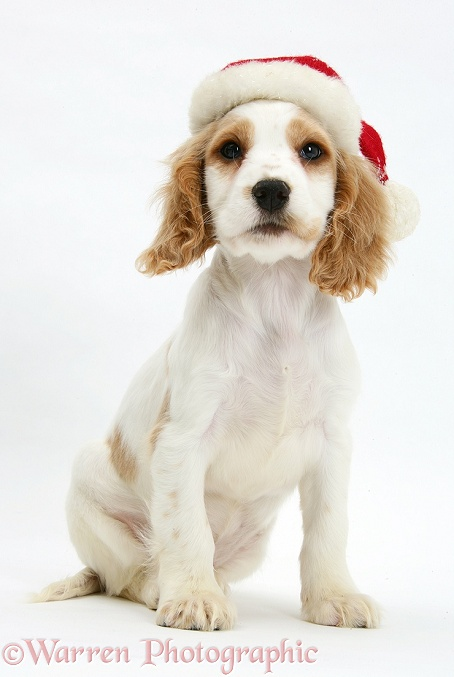 Orange roan Cocker Spaniel pup, Blossom, wearing Father Christmas hat, white background