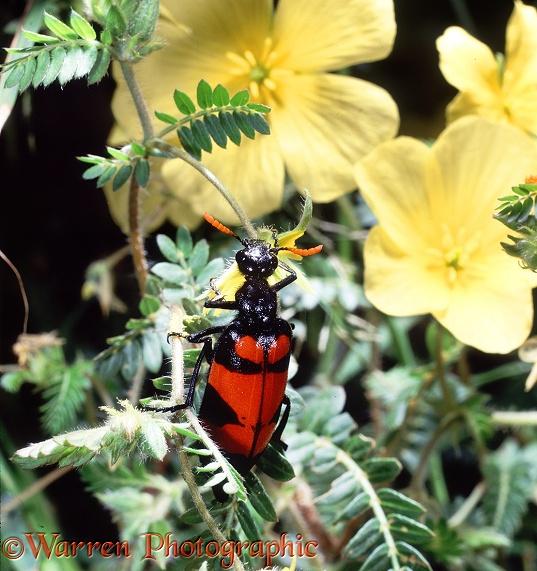 Blister Beetle eating Devil's Thorn flowers photo WP17999